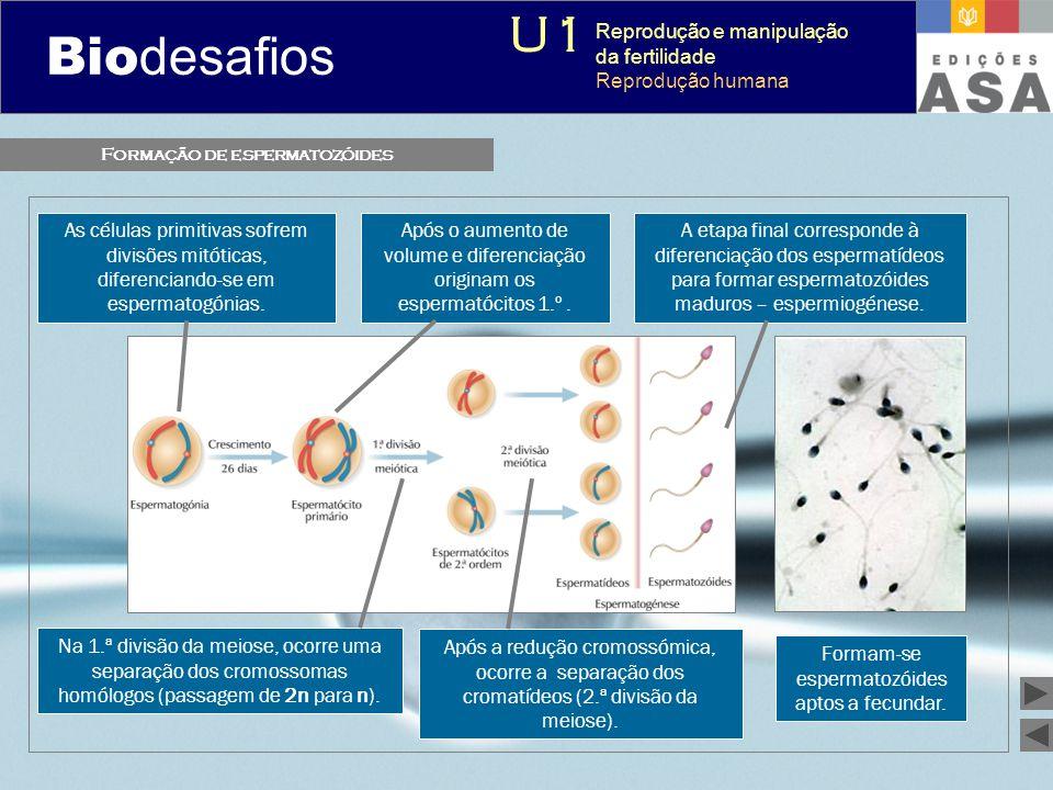 Formação de espermatozóides