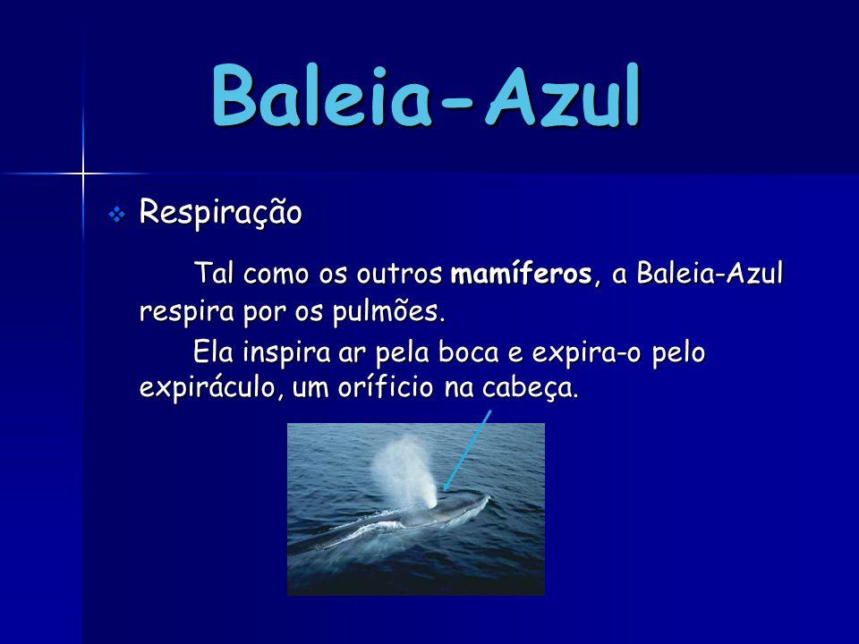 Baleia-Azul Respiração. Tal como os outros mamíferos, a Baleia-Azul respira por os pulmões.