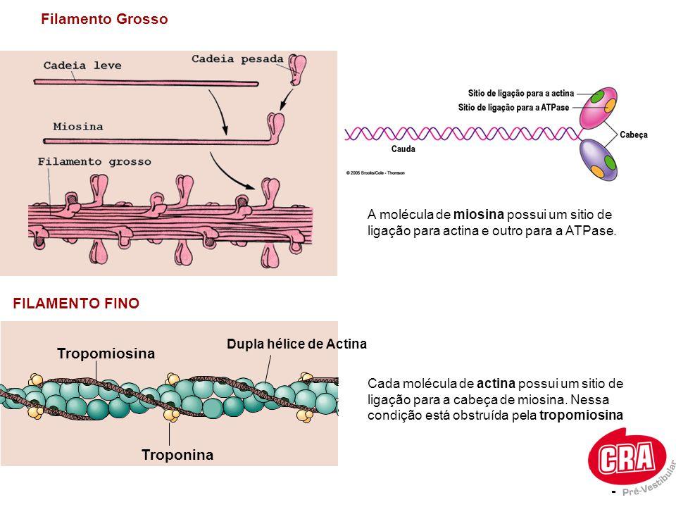 Filamento Grosso FILAMENTO FINO Tropomiosina Troponina