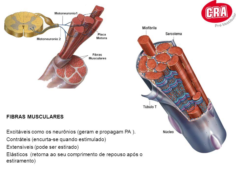 FIBRAS MUSCULARES Excitáveis como os neurônios (geram e propagam PA ). Contráteis (encurta-se quando estimulado)