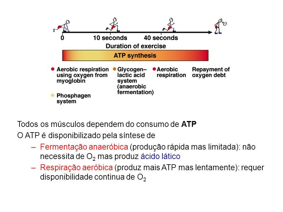 Todos os músculos dependem do consumo de ATP