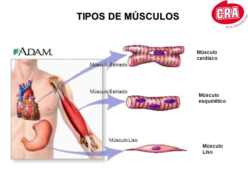 TIPOS DE MÚSCULOS Músculo cardíaco Músculo Estriado Músculo Estriado