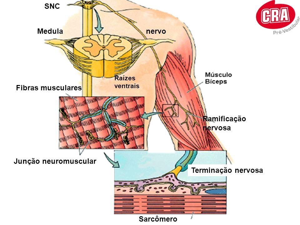 SNC Medula nervo Fibras musculares Ramificação nervosa