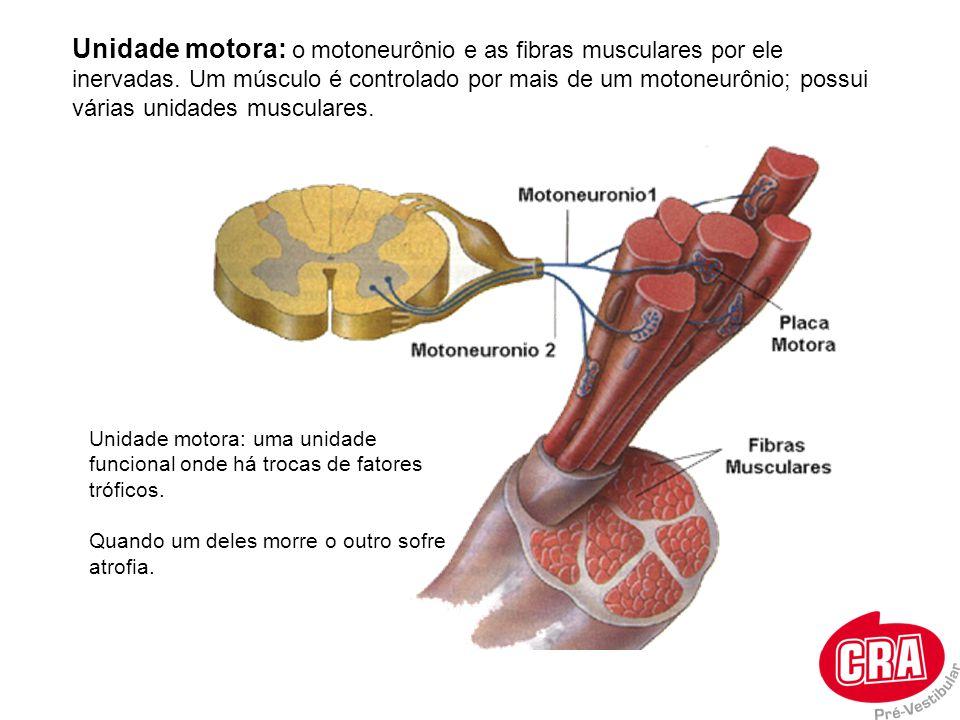 Unidade motora: o motoneurônio e as fibras musculares por ele inervadas. Um músculo é controlado por mais de um motoneurônio; possui várias unidades musculares.