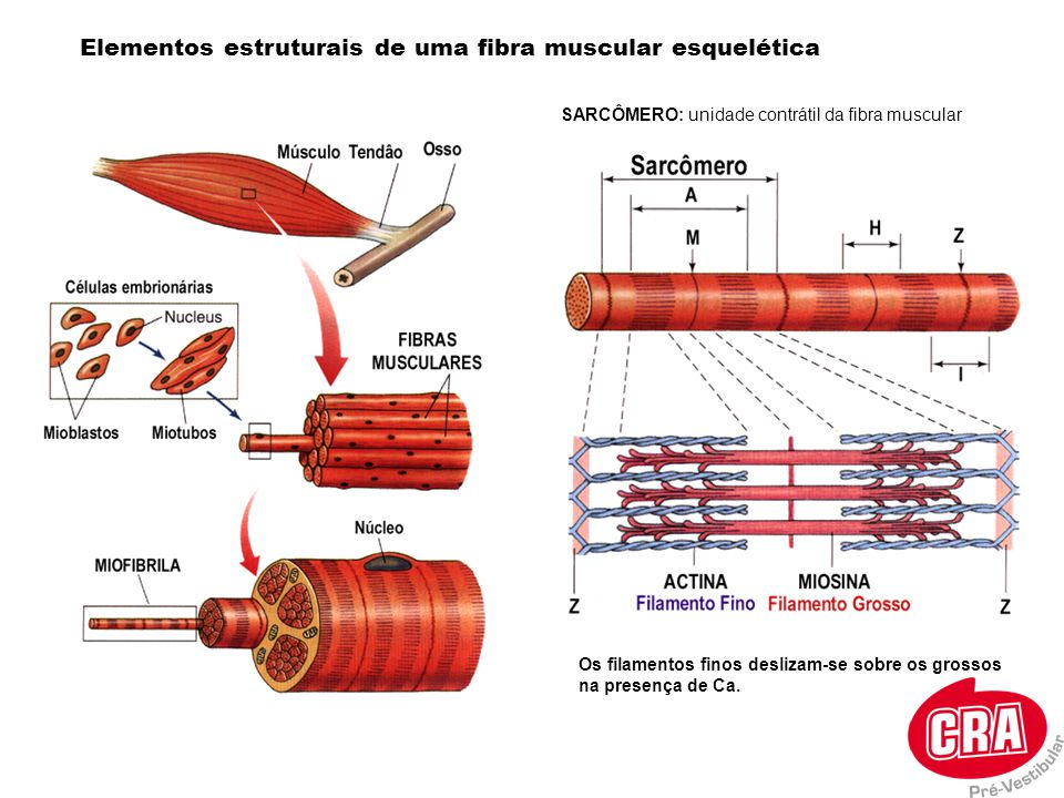 Elementos estruturais de uma fibra muscular esquelética