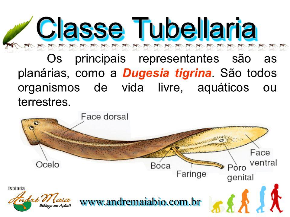 Classe Tubellaria Os principais representantes são as planárias, como a Dugesia tigrina.