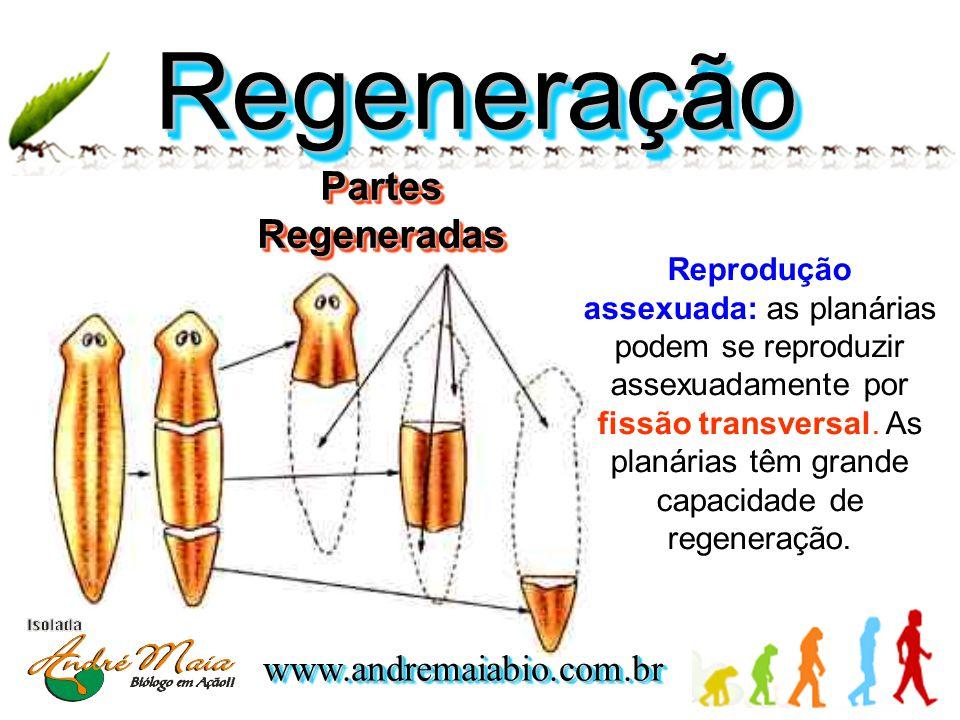 Regeneração Partes Regeneradas