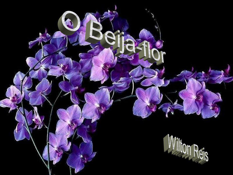 O Beija-flor Wilton Reis