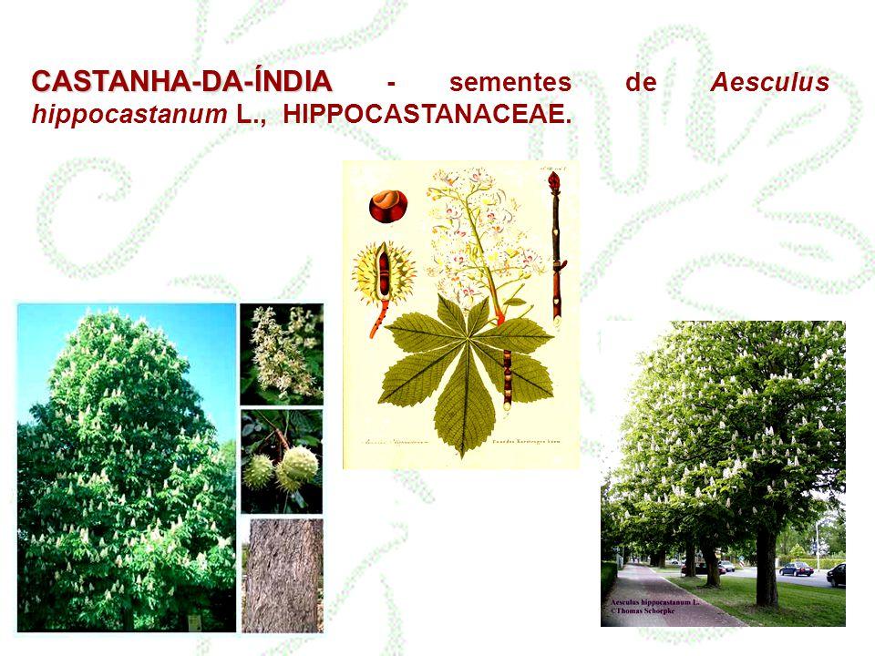 CASTANHA-DA-ÍNDIA - sementes de Aesculus hippocastanum L