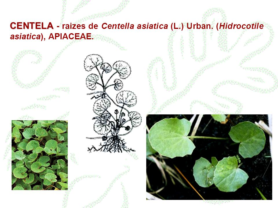 CENTELA - raizes de Centella asiatica (L. ) Urban