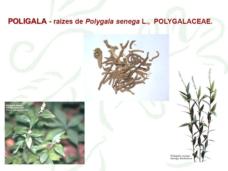 POLIGALA - raizes de Polygala senega L., POLYGALACEAE.