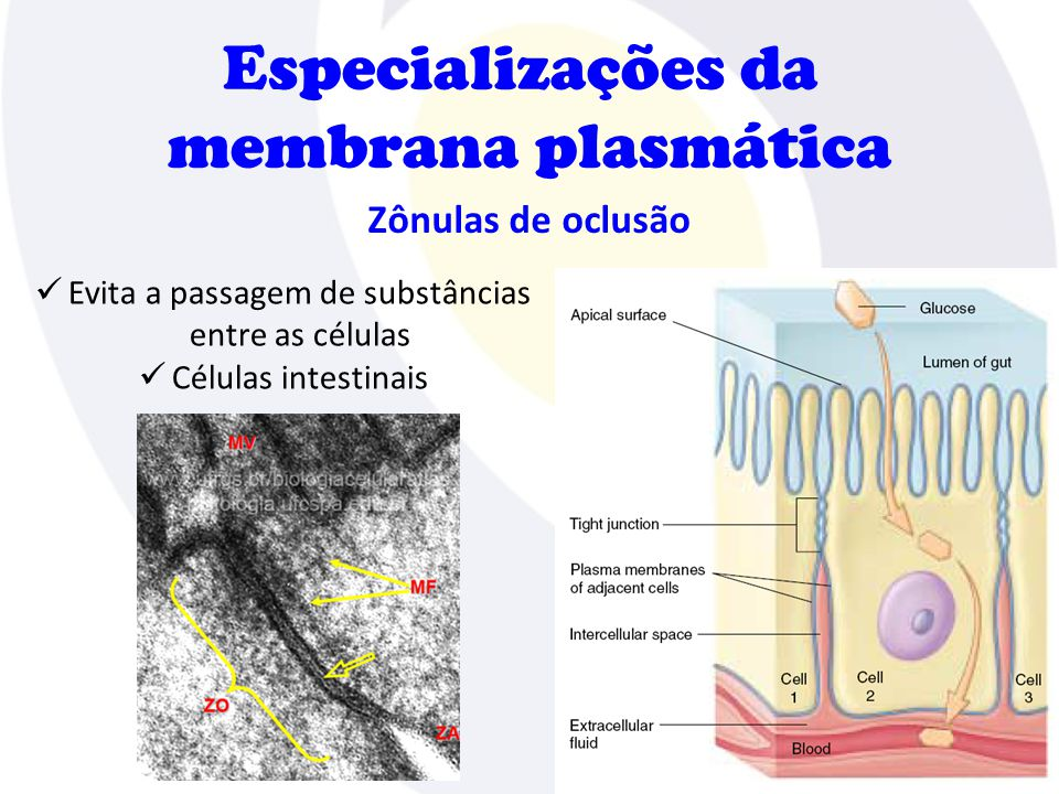 Evita a passagem de substâncias entre as células