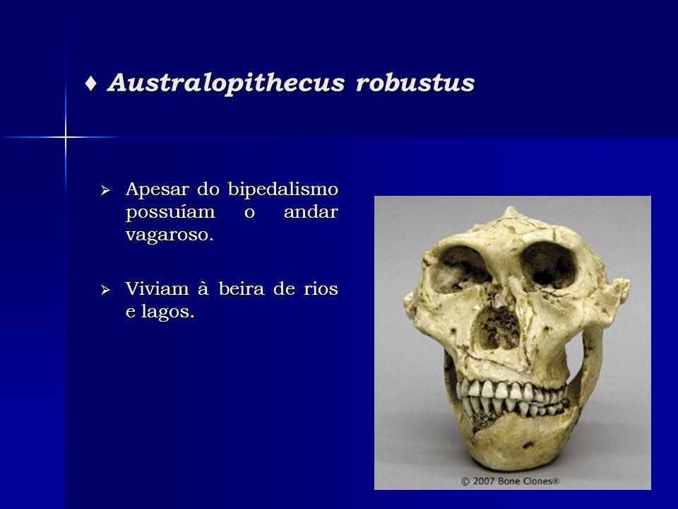 ♦ Australopithecus robustus