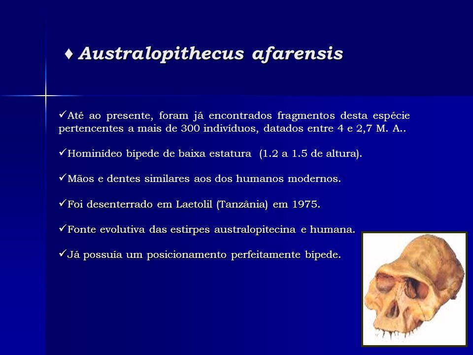 ♦ Australopithecus afarensis