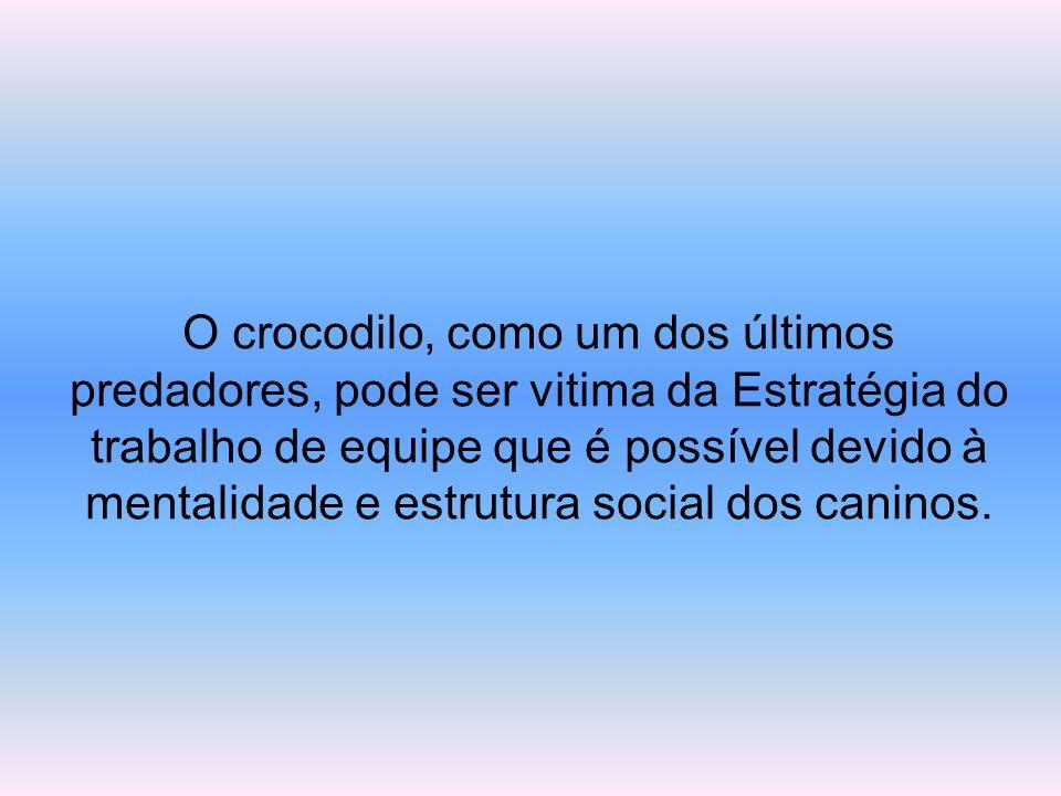 O crocodilo, como um dos últimos predadores, pode ser vitima da Estratégia do trabalho de equipe que é possível devido à mentalidade e estrutura social dos caninos.