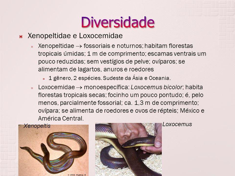 Diversidade Xenopeltidae e Loxocemidae