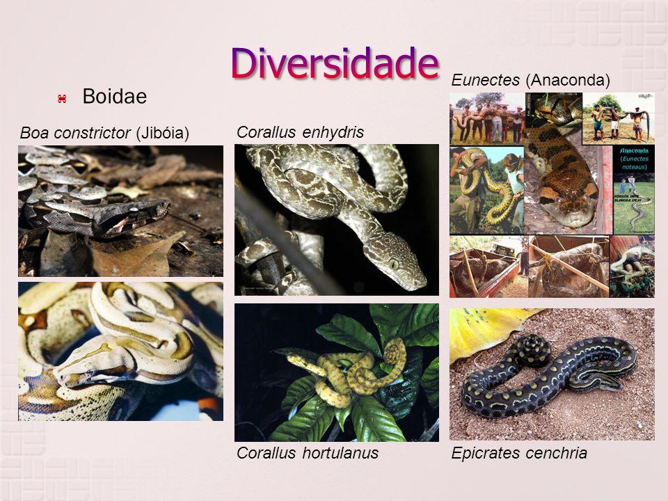 Diversidade Boidae Eunectes (Anaconda) Boa constrictor (Jibóia)