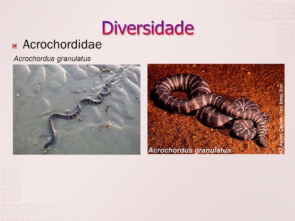 Diversidade Acrochordidae Acrochordus granulatus