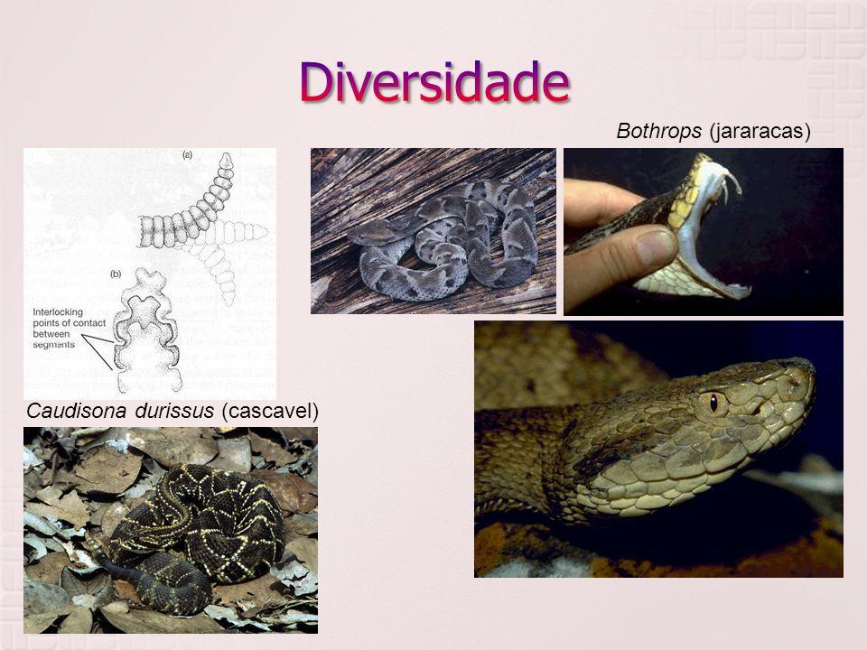 Diversidade Viperidae Bothrops (jararacas)