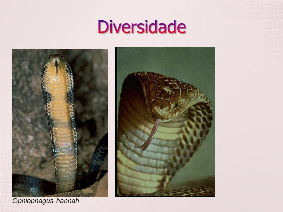 Diversidade Elapidae Ophiophagus hannah