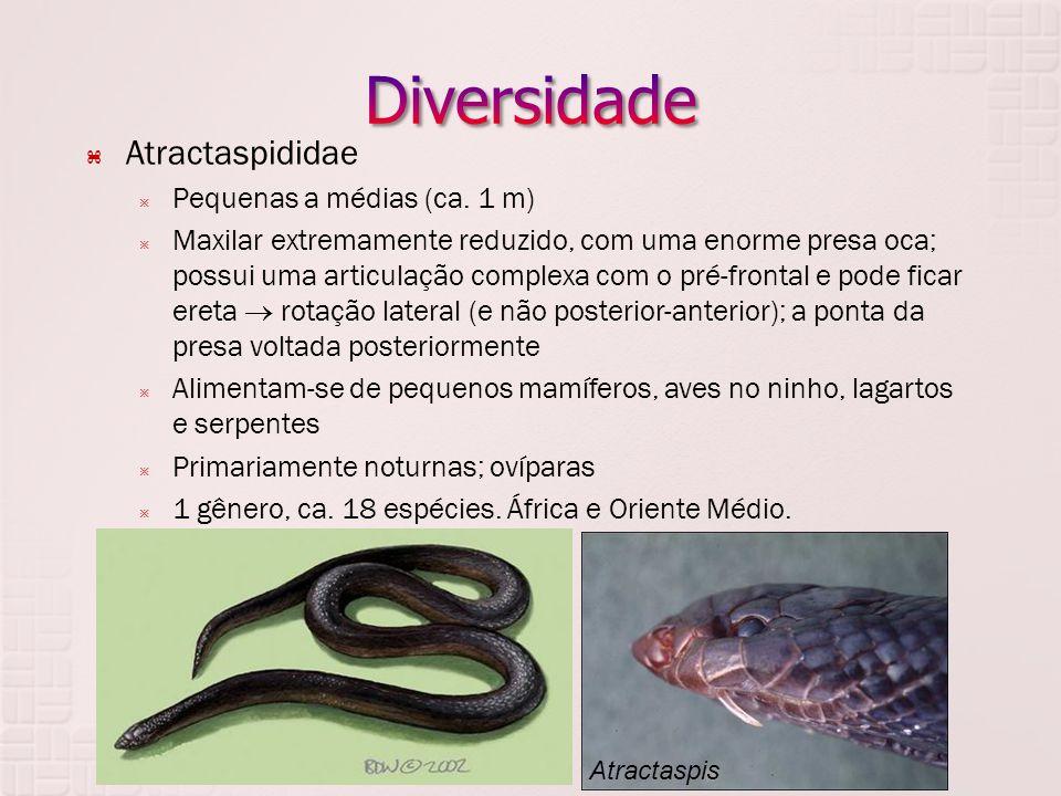 Diversidade Atractaspididae Pequenas a médias (ca. 1 m)