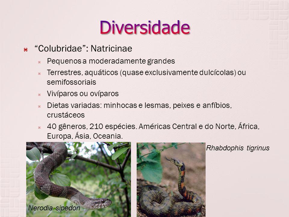 Diversidade Colubridae : Natricinae Pequenos a moderadamente grandes