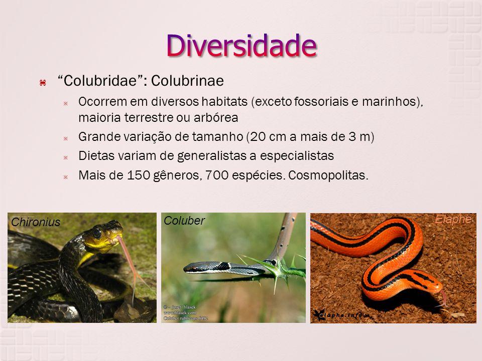 Diversidade Colubridae : Colubrinae