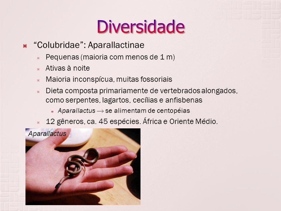 Diversidade Colubridae : Aparallactinae