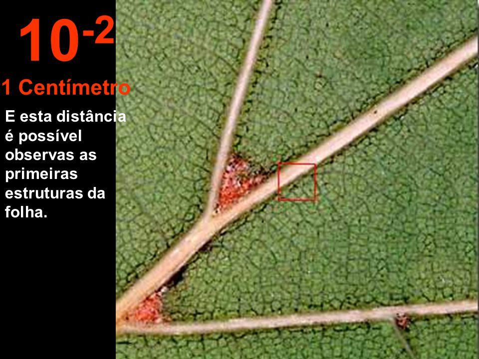 10-2 1 Centímetro E esta distância é possível observas as primeiras estruturas da folha.