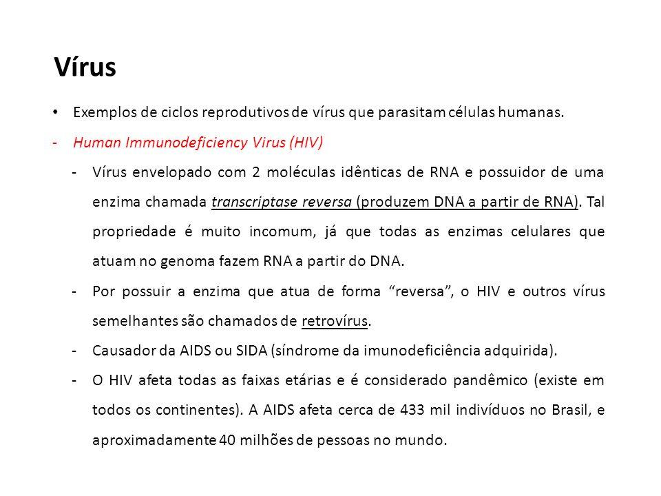 Vírus Exemplos de ciclos reprodutivos de vírus que parasitam células humanas. Human Immunodeficiency Virus (HIV)