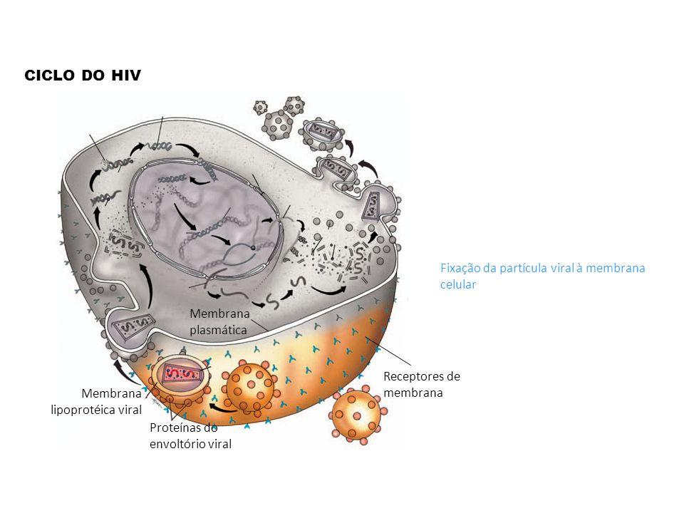 CICLO DO HIV Fixação da partícula viral à membrana celular