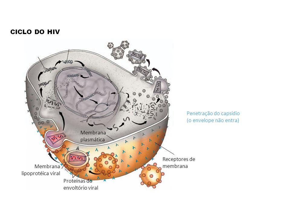 CICLO DO HIV Penetração do capsídio (o envelope não entra)