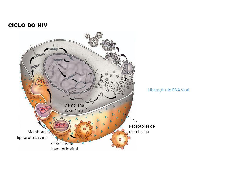 CICLO DO HIV Liberação do RNA viral Membrana plasmática