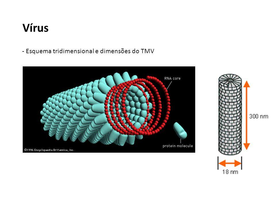Vírus - Esquema tridimensional e dimensões do TMV