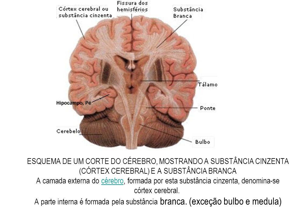 ESQUEMA DE UM CORTE DO CÉREBRO, MOSTRANDO A SUBSTÂNCIA CINZENTA (CÓRTEX CEREBRAL) E A SUBSTÂNCIA BRANCA A camada externa do cérebro, formada por esta substância cinzenta, denomina-se córtex cerebral. A parte interna é formada pela substância branca.