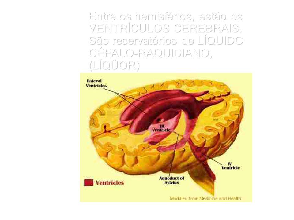 Entre os hemisférios, estão os VENTRÍCULOS CEREBRAIS