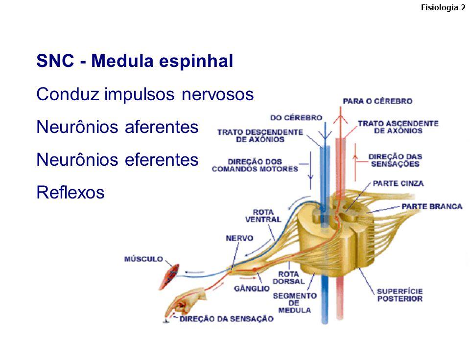 Conduz impulsos nervosos Neurônios aferentes Neurônios eferentes