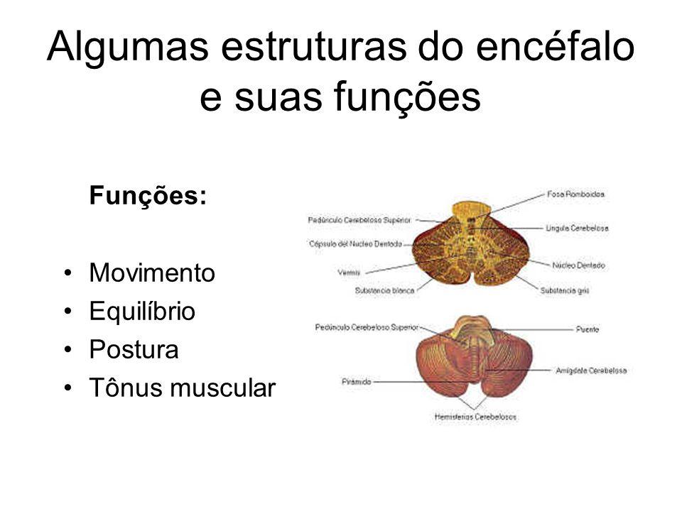 Algumas estruturas do encéfalo e suas funções Cerebelo