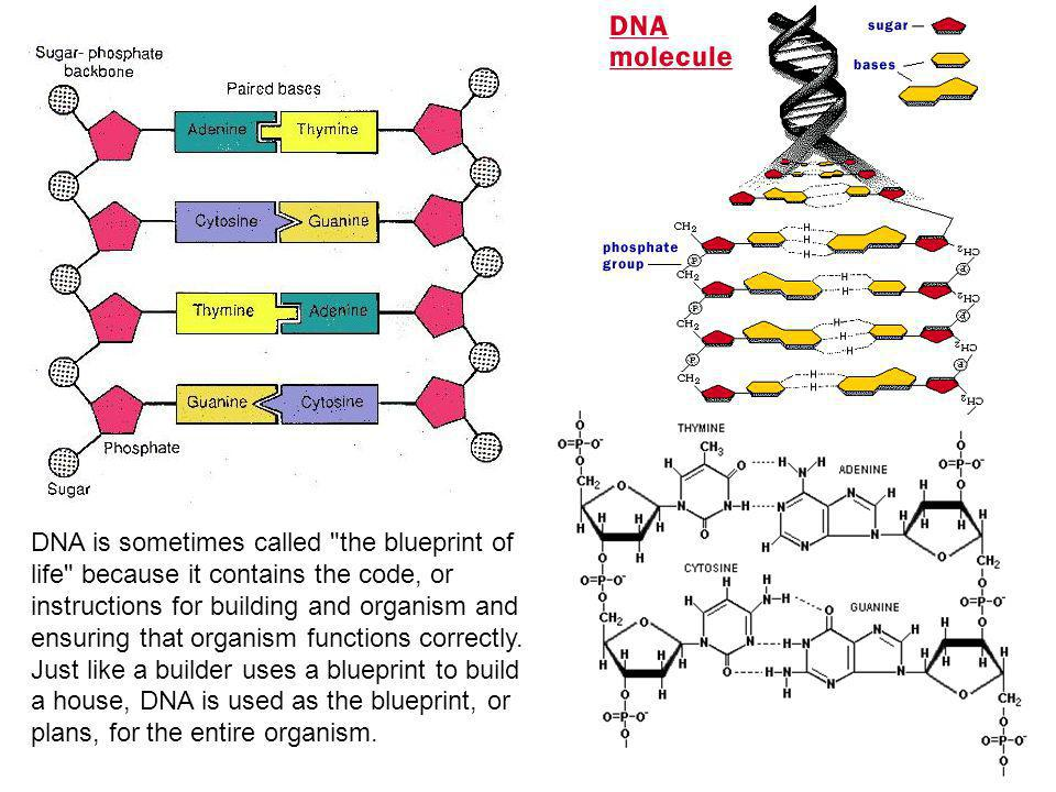 DNA is sometimes called the blueprint of life because it contains the code, or instructions for building and organism and ensuring that organism functions correctly.