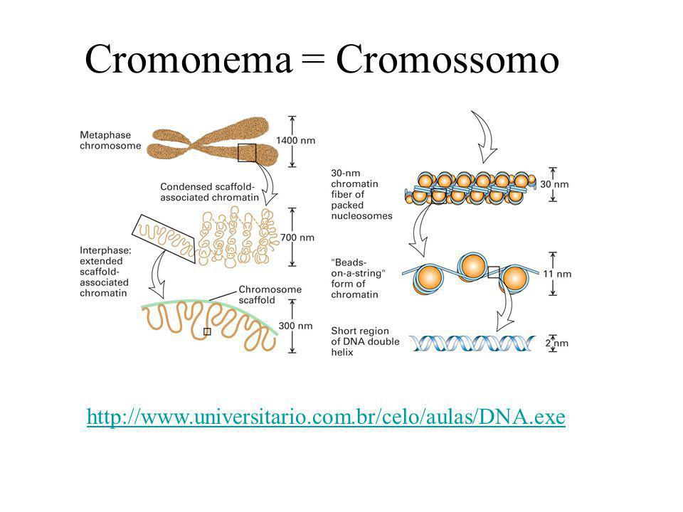 Cromonema = Cromossomo