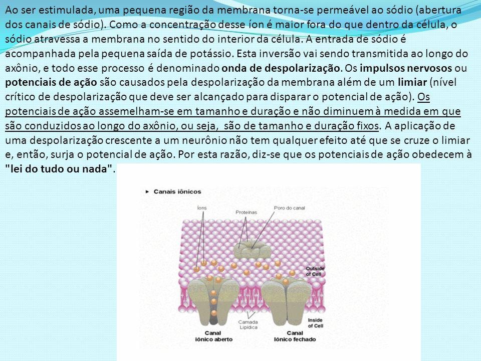 Ao ser estimulada, uma pequena região da membrana torna-se permeável ao sódio (abertura dos canais de sódio).