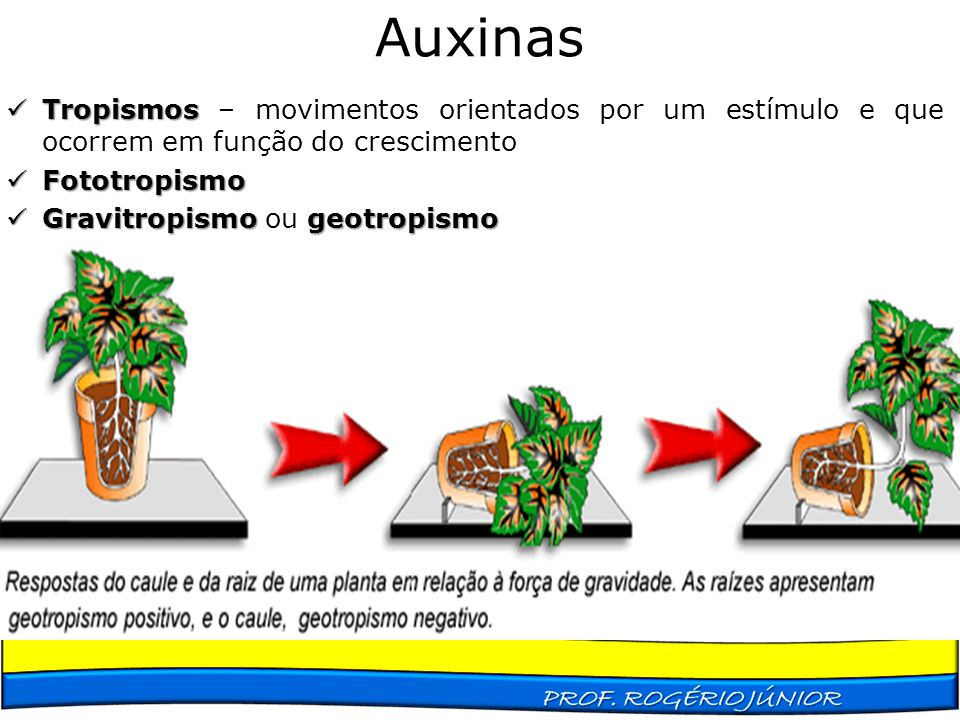 Auxinas Tropismos – movimentos orientados por um estímulo e que ocorrem em função do crescimento. Fototropismo.