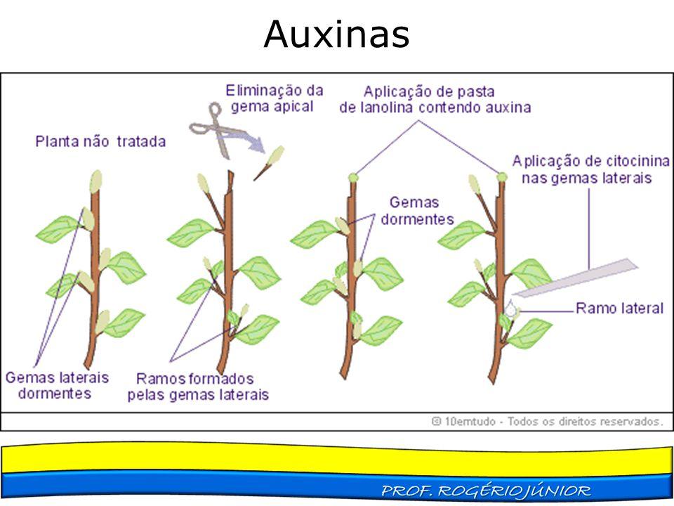 Auxinas Dominância apical Produção de raízes adventícias