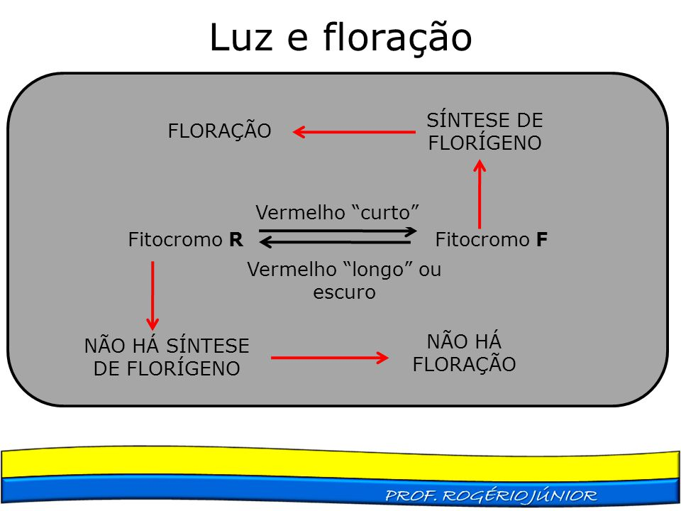 Luz e floração SÍNTESE DE FLORÍGENO FLORAÇÃO Fitocromo R Fitocromo F