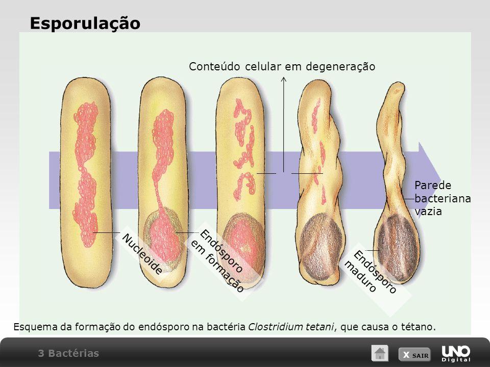 Esporulação Conteúdo celular em degeneração Parede bacteriana vazia