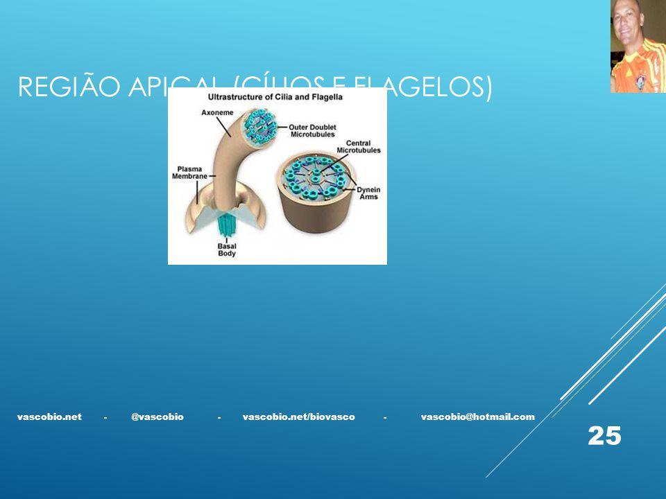 Região apical (cílios e flagelos)