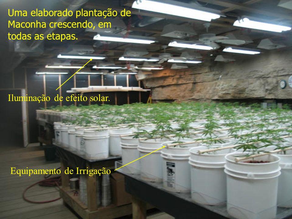 Uma elaborado plantação de Maconha crescendo, em todas as etapas.