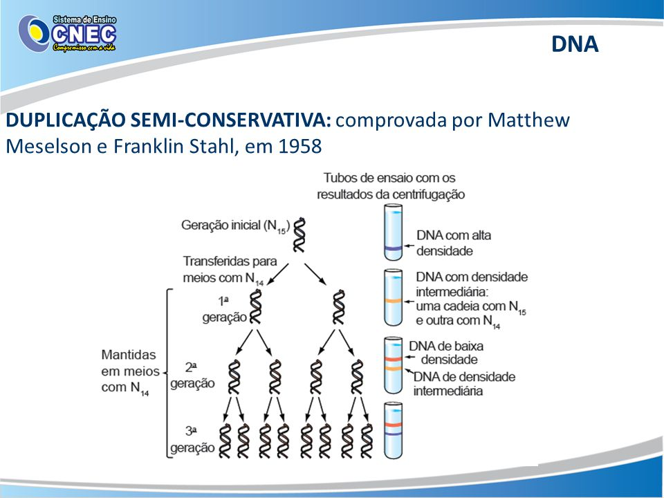 DNA DUPLICAÇÃO SEMI-CONSERVATIVA: comprovada por Matthew Meselson e Franklin Stahl, em 1958