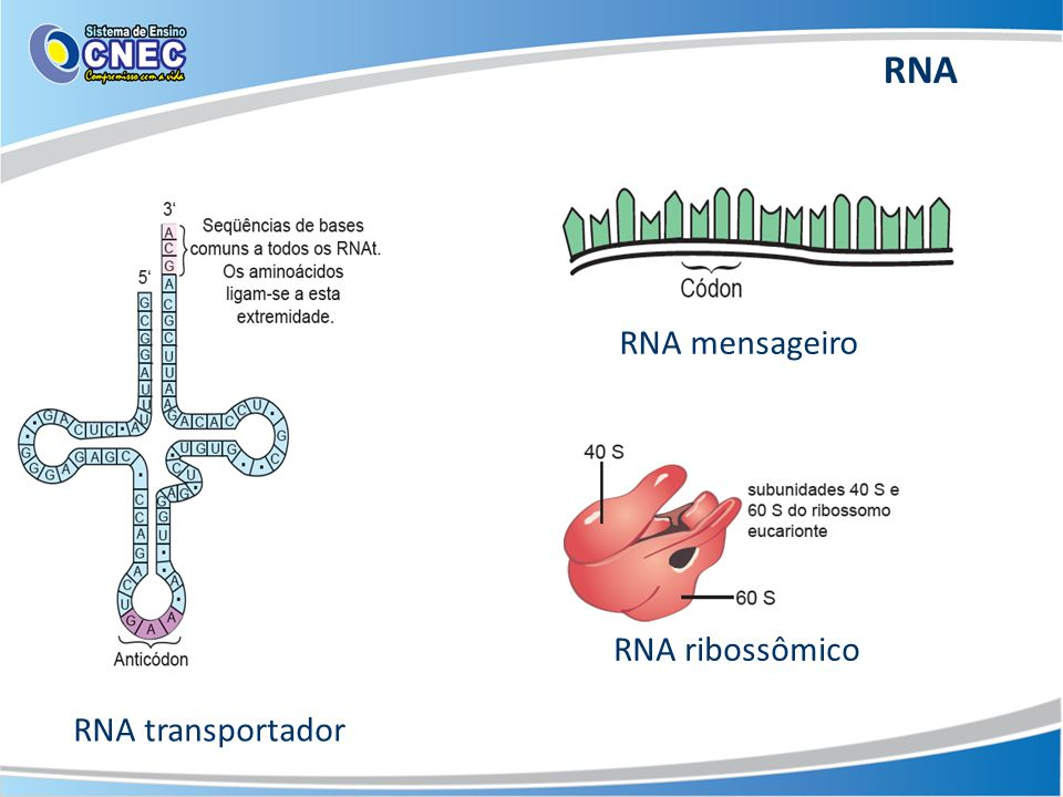RNA RNA mensageiro RNA ribossômico RNA transportador