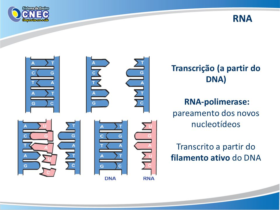 Transcrição (a partir do DNA)